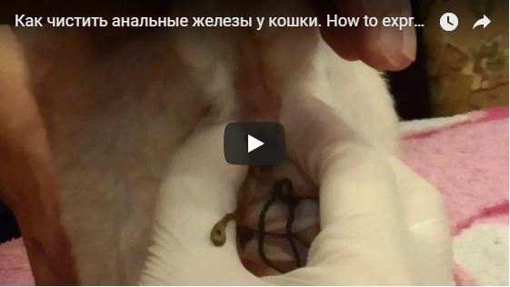Как лечить воспаление параанальных желез у кошек