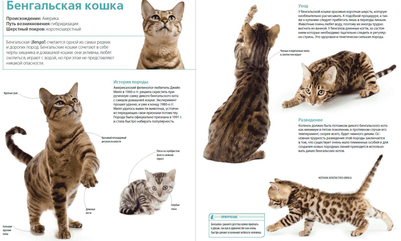 порода кошек похожая на рысь с кисточками на ушах