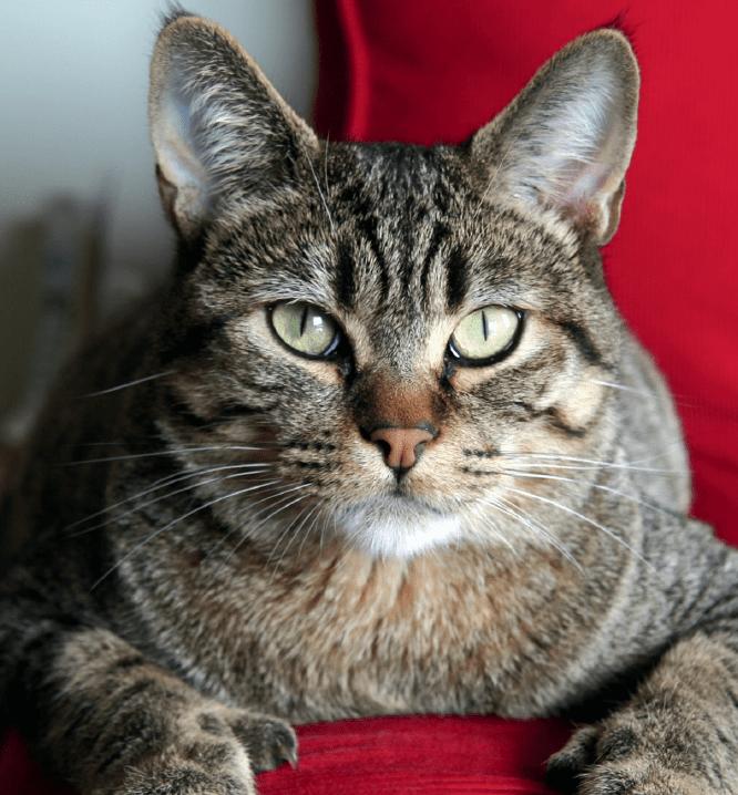 коты с кисточками на ушах фото подходит женщинам