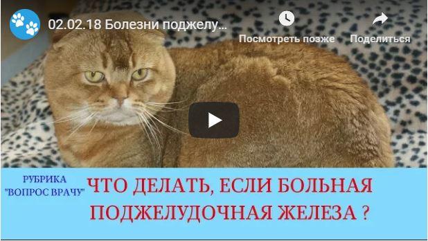 Воспаление поджелудочной железы у котов