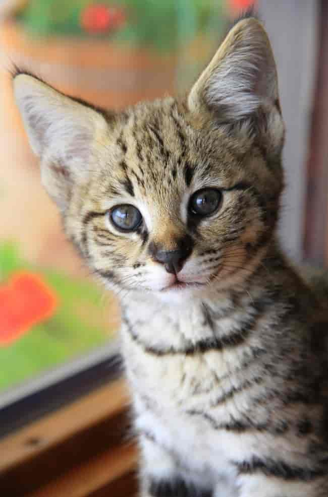 порода кошек с длинными ушами
