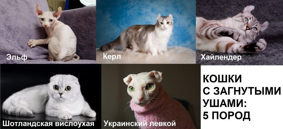 Порода кошек с загнутыми ушами