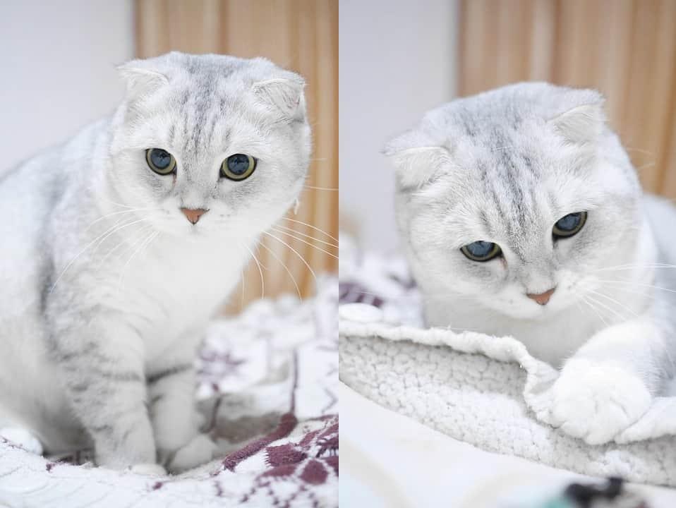 порода кошек без ушей