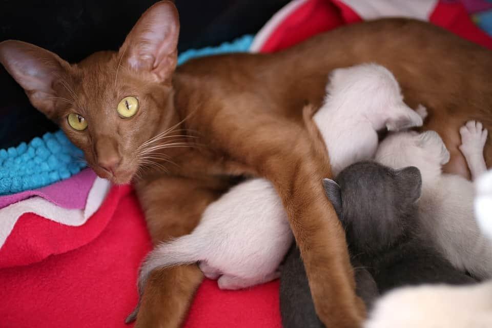 как называется порода кошек с большими ушами