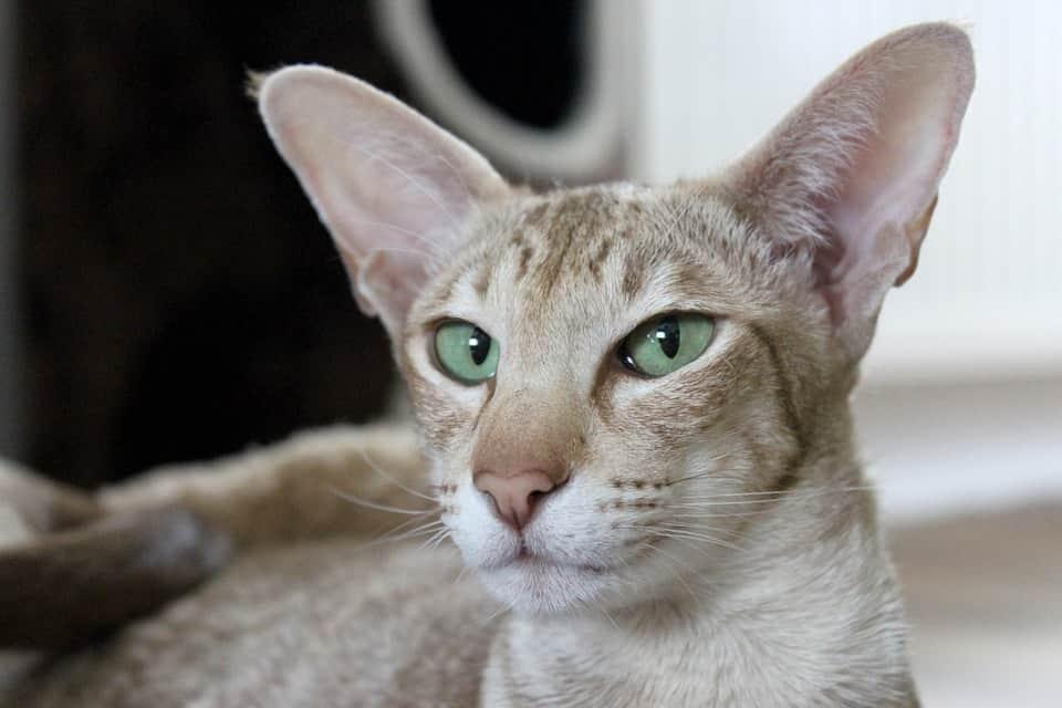 кошки с вытянутой мордой и большими ушами порода