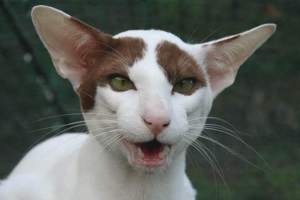 коты с большими ушами и вытянутой мордой порода